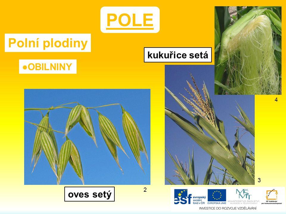 POLE Polní plodiny kukuřice setá ●OBILNINY 4 3 2 oves setý