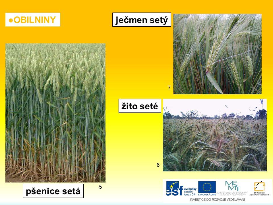 ječmen setý žito seté pšenice setá