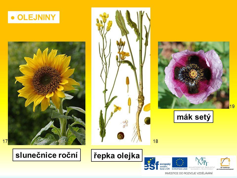 mák setý slunečnice roční řepka olejka