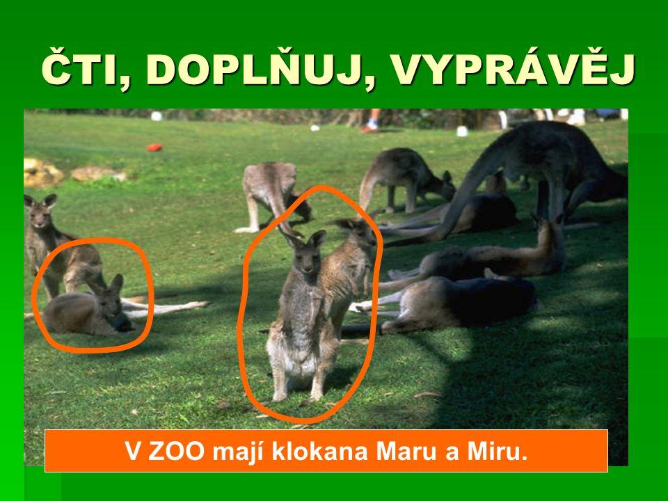 V ZOO mají klokana Maru a Miru.
