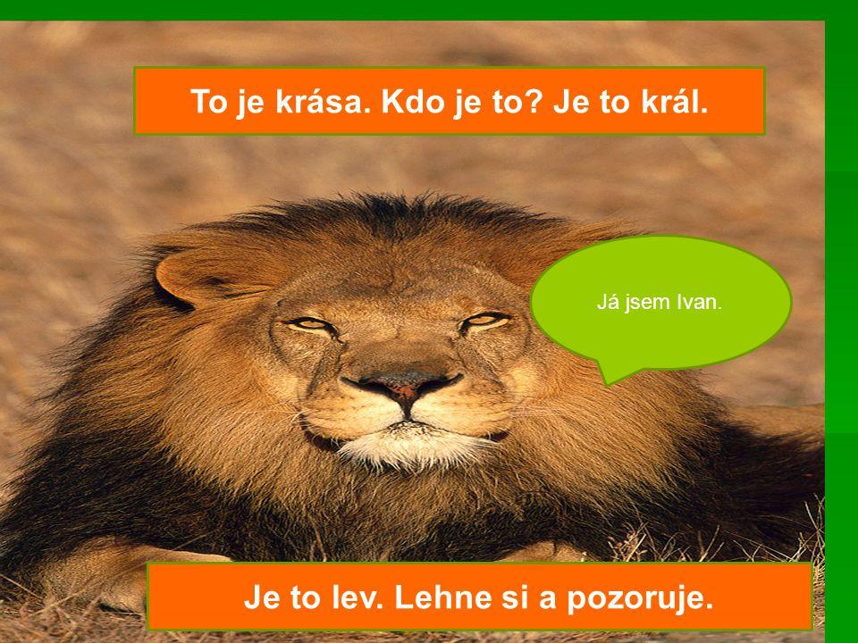 To je krása. Kdo je to Je to král. Je to lev. Lehne si a pozoruje.