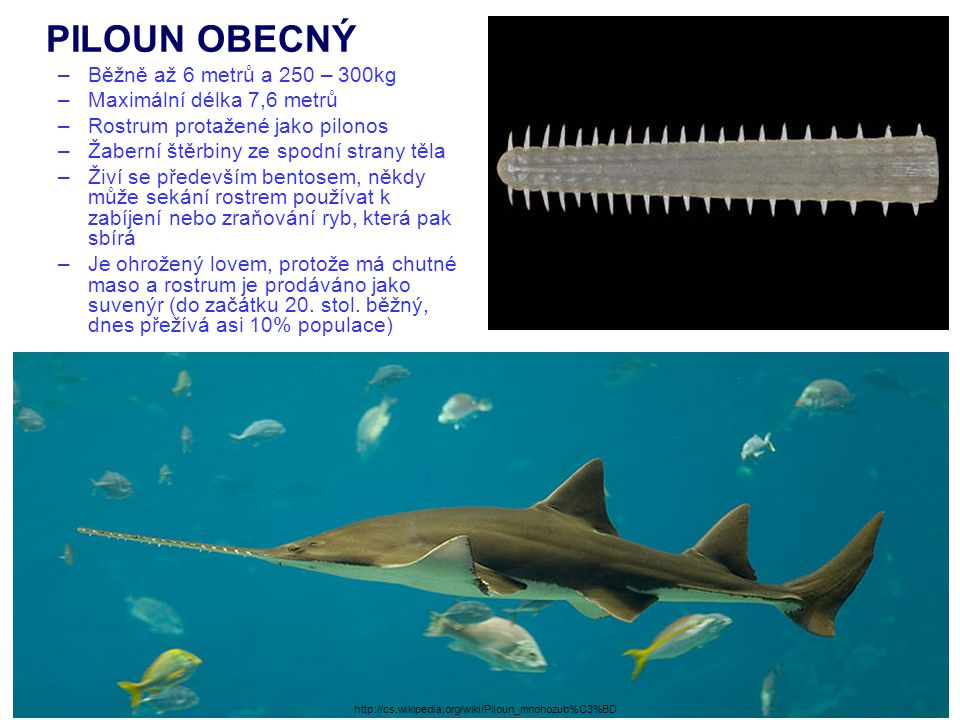 PILOUN OBECNÝ Běžně až 6 metrů a 250 – 300kg Maximální délka 7,6 metrů