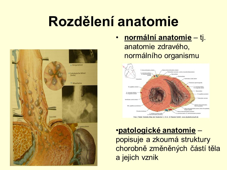 Rozdělení anatomie normální anatomie – tj. anatomie zdravého, normálního organismu.