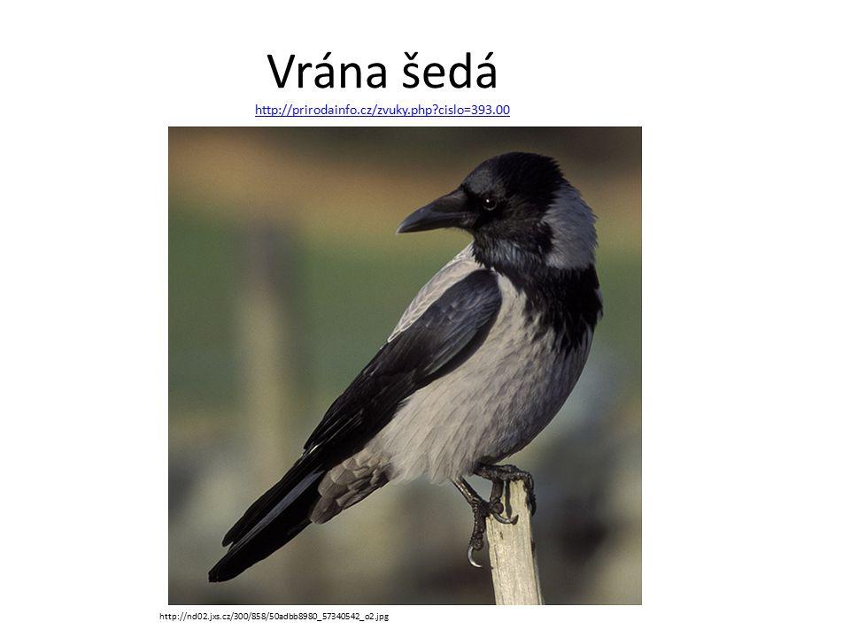 Vrána šedá http://prirodainfo.cz/zvuky.php cislo=393.00