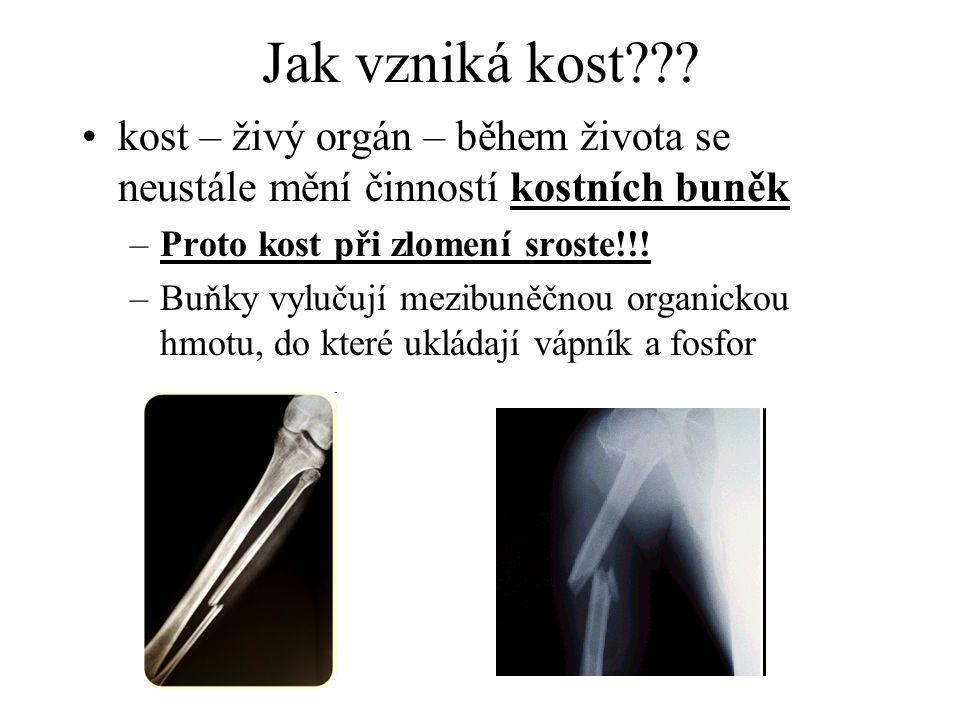 Jak vzniká kost kost – živý orgán – během života se neustále mění činností kostních buněk. Proto kost při zlomení sroste!!!