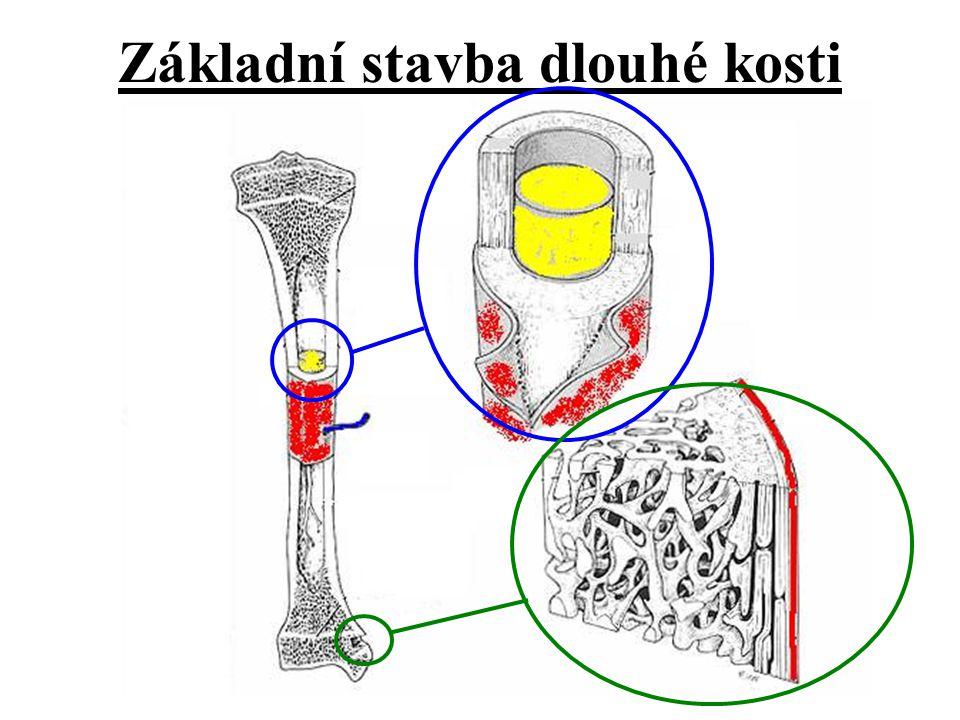 Základní stavba dlouhé kosti