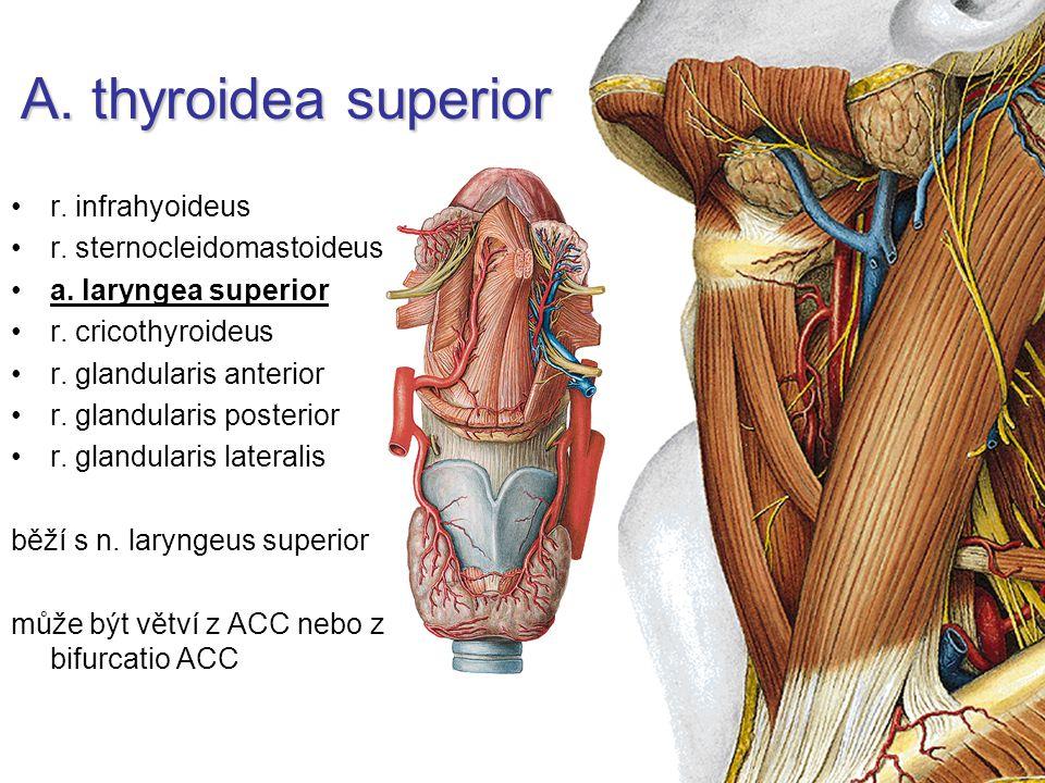 A. thyroidea superior r. infrahyoideus r. sternocleidomastoideus
