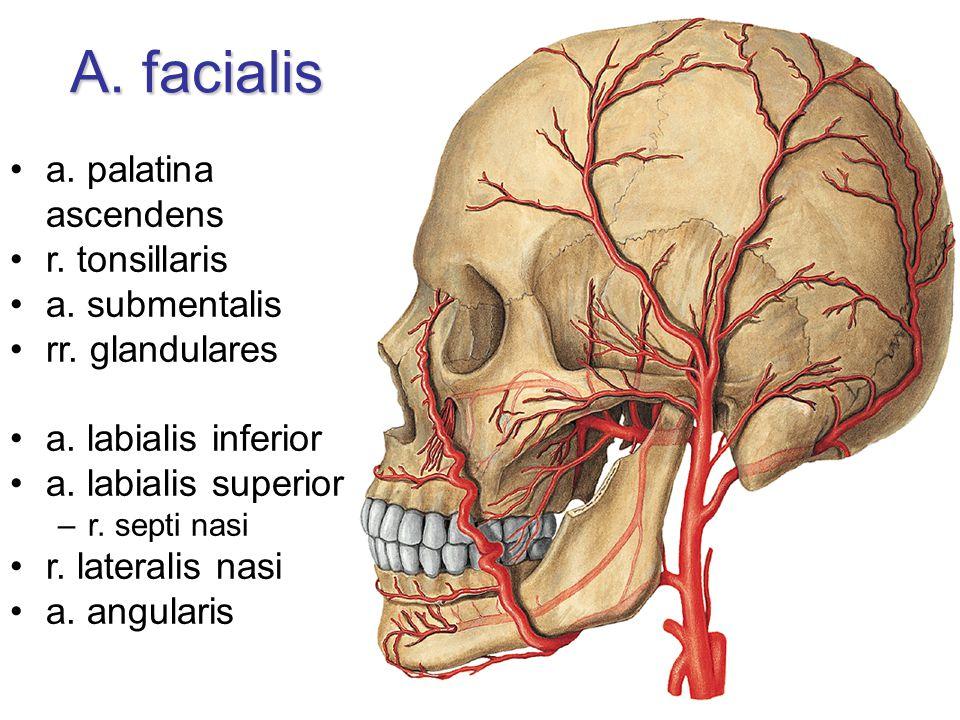 A. facialis a. palatina ascendens r. tonsillaris a. submentalis