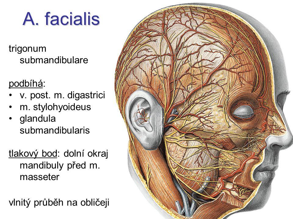 A. facialis trigonum submandibulare podbíhá: v. post. m. digastrici