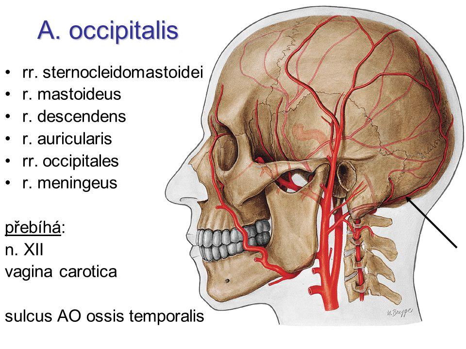 A. occipitalis rr. sternocleidomastoidei r. mastoideus r. descendens