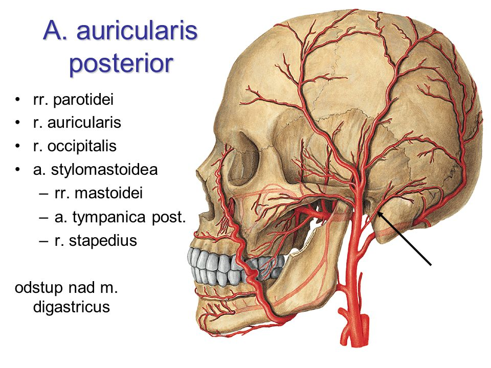 A. auricularis posterior
