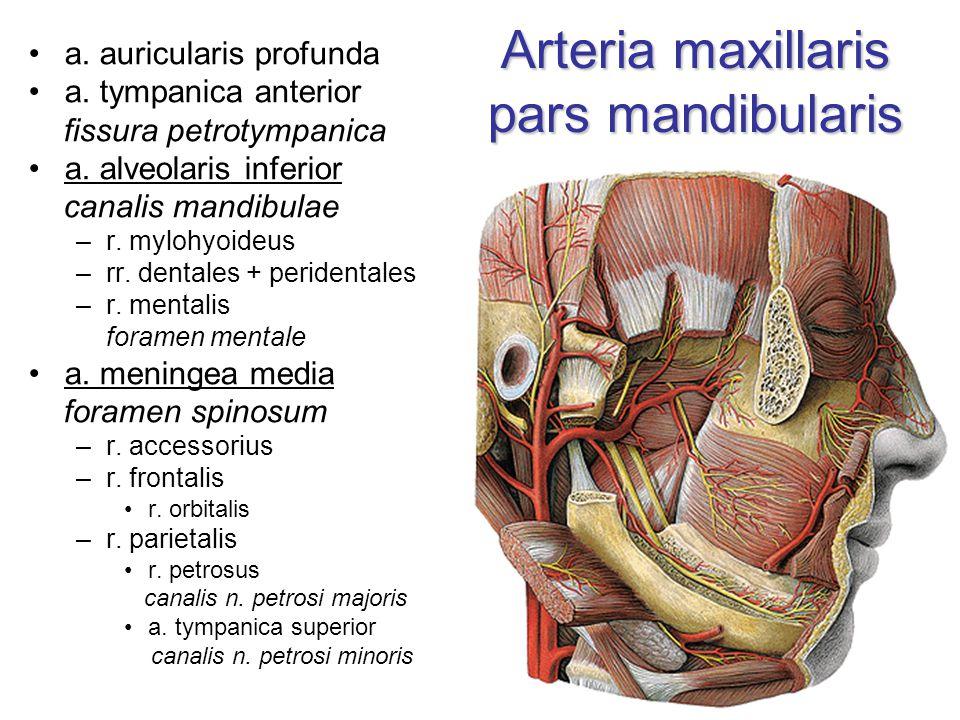 Arteria maxillaris pars mandibularis