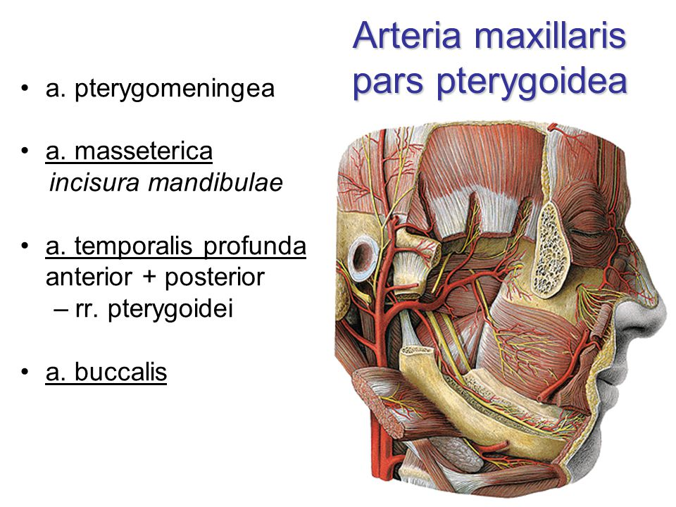 Arteria maxillaris pars pterygoidea