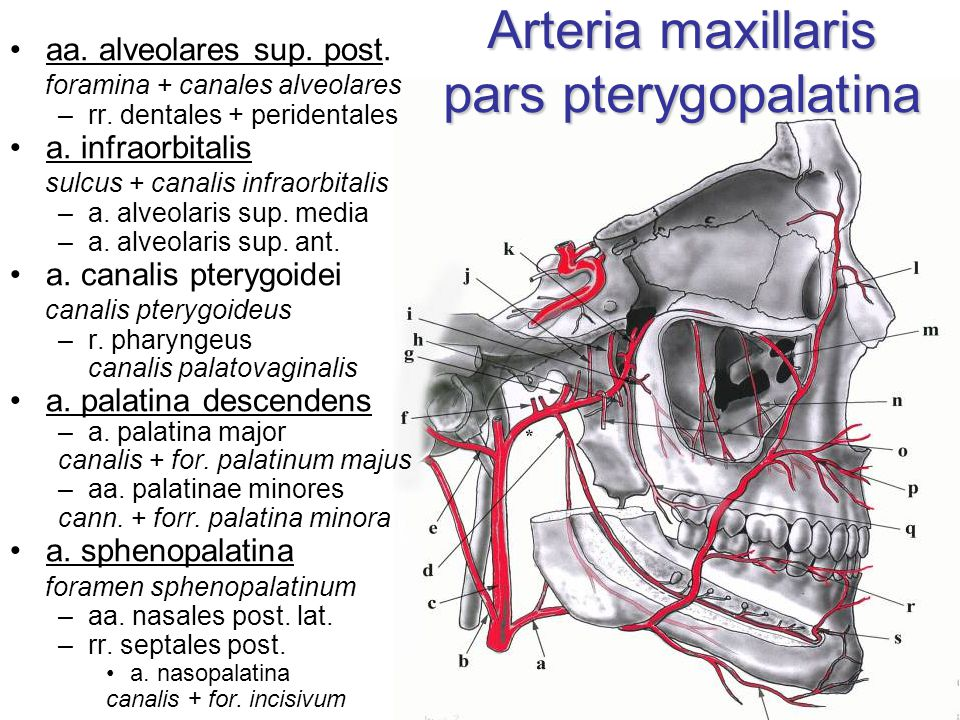Arteria maxillaris pars pterygopalatina