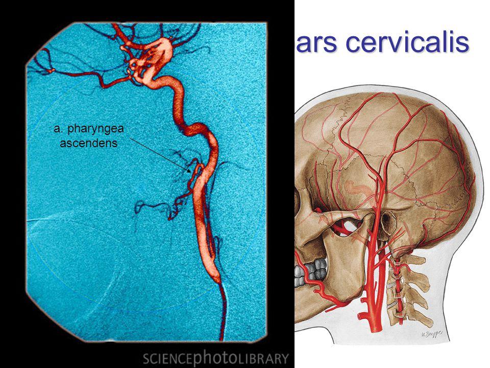 A. carotis interna – pars cervicalis