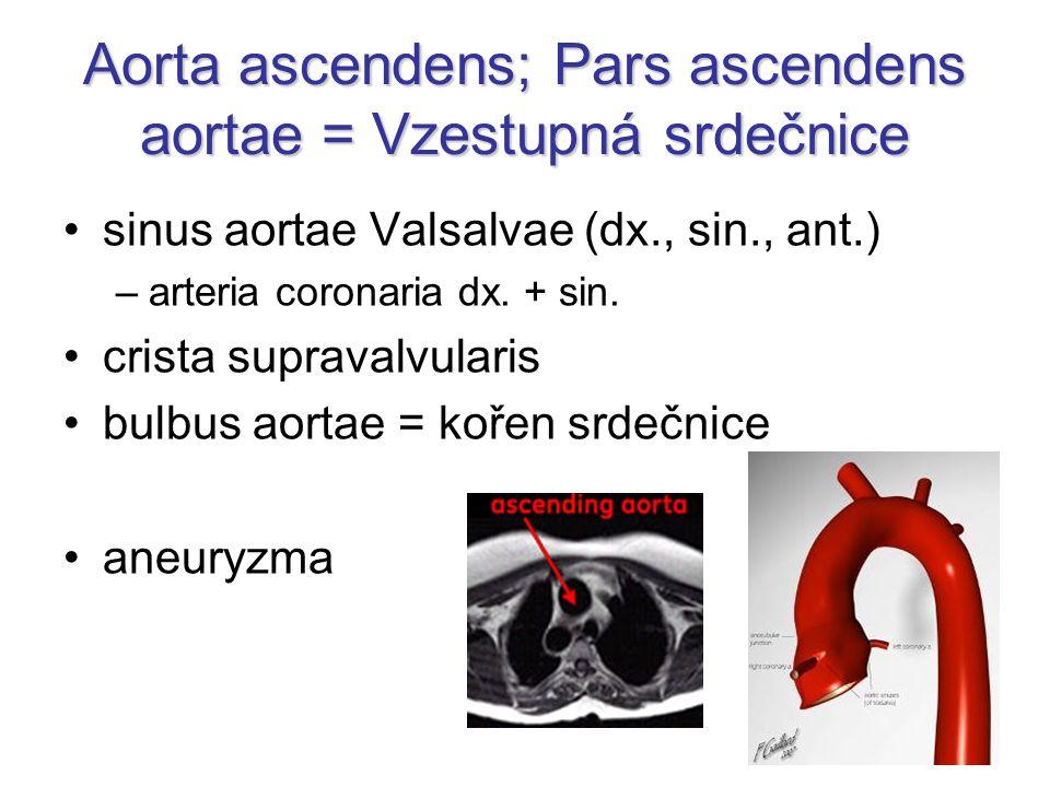 Aorta ascendens; Pars ascendens aortae = Vzestupná srdečnice