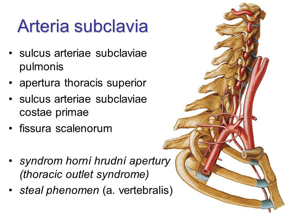 Arteria subclavia sulcus arteriae subclaviae pulmonis