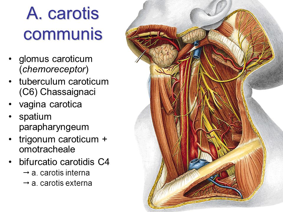 A. carotis communis glomus caroticum (chemoreceptor)