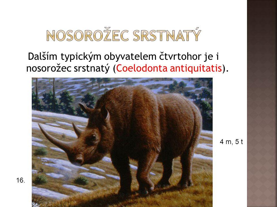 nosorožec srstnatý Dalším typickým obyvatelem čtvrtohor je i nosorožec srstnatý (Coelodonta antiquitatis).