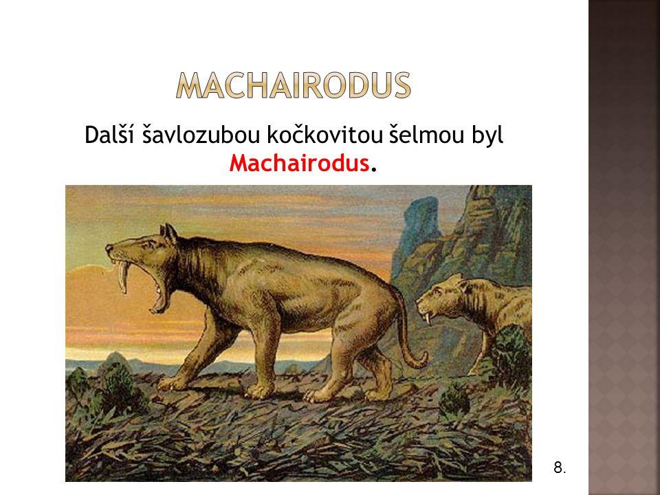 Další šavlozubou kočkovitou šelmou byl Machairodus.