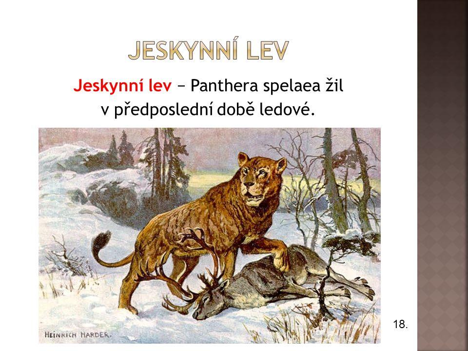 Jeskynní lev − Panthera spelaea žil v předposlední době ledové.
