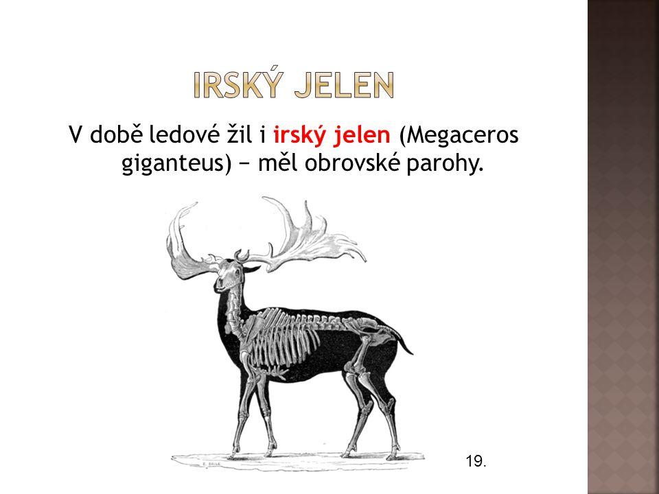 Irský jelen V době ledové žil i irský jelen (Megaceros giganteus) − měl obrovské parohy. 19.