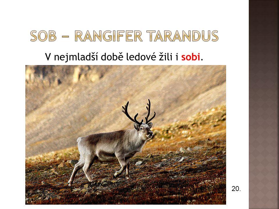 Sob − Rangifer tarandus