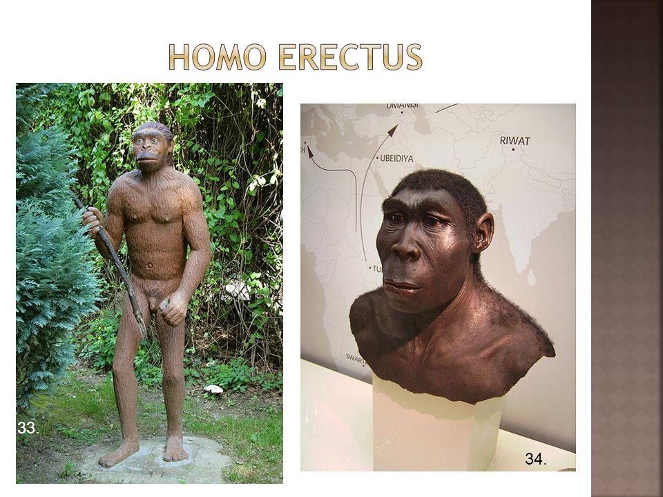 Homo erectus 33. 34.