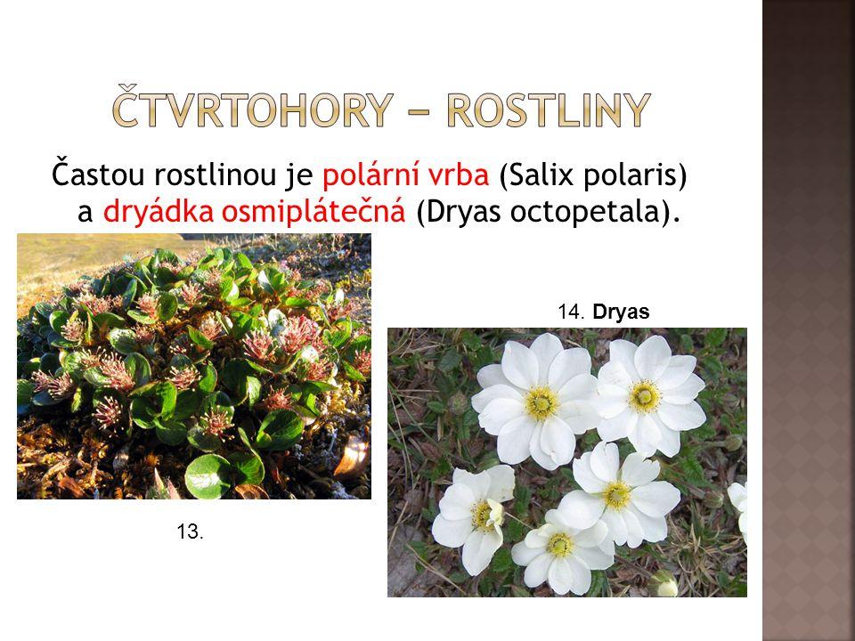 ČtvrTohory − rostliny Častou rostlinou je polární vrba (Salix polaris) a dryádka osmiplátečná (Dryas octopetala).