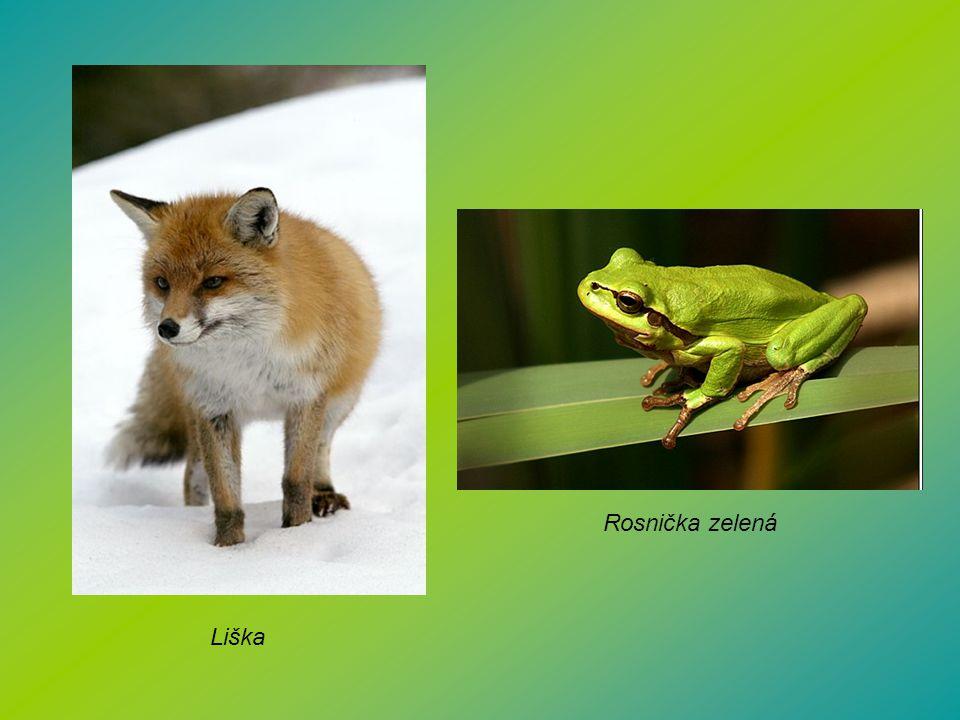 Rosnička zelená Liška