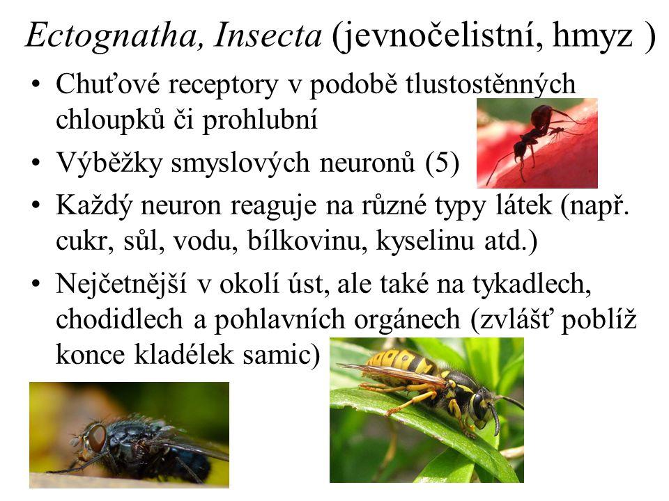 Ectognatha, Insecta (jevnočelistní, hmyz )