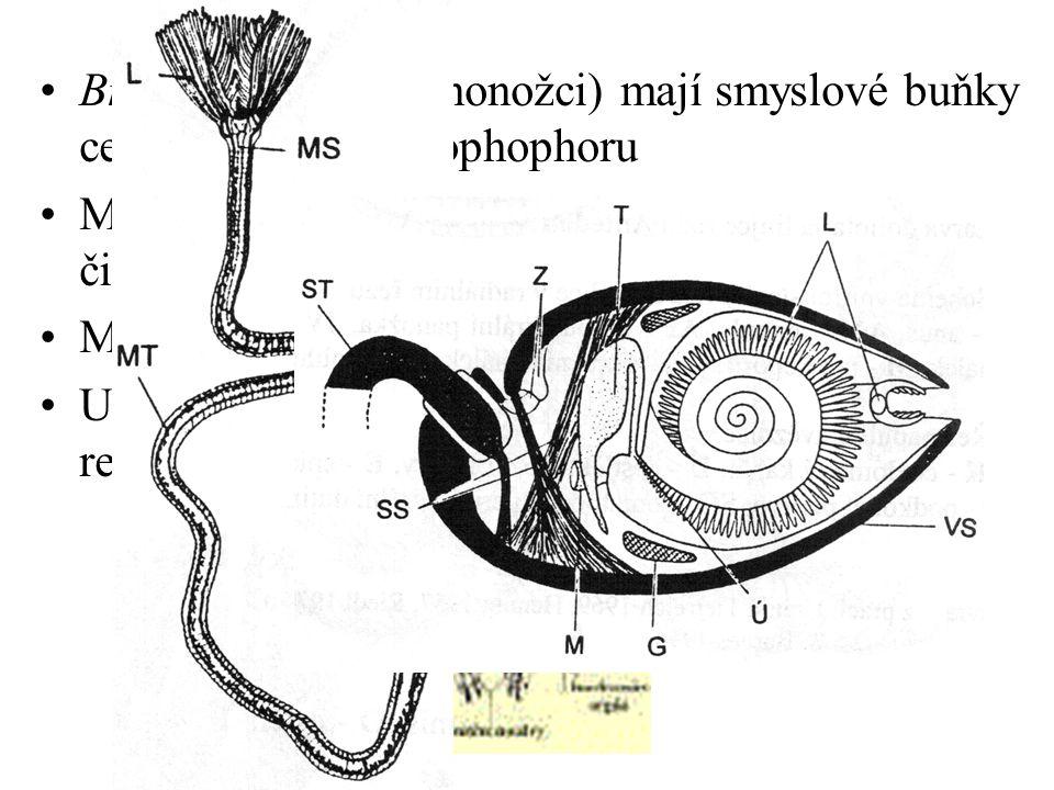 Brachiopoda (ramenonožci) mají smyslové buňky centralizovány na lophophoru