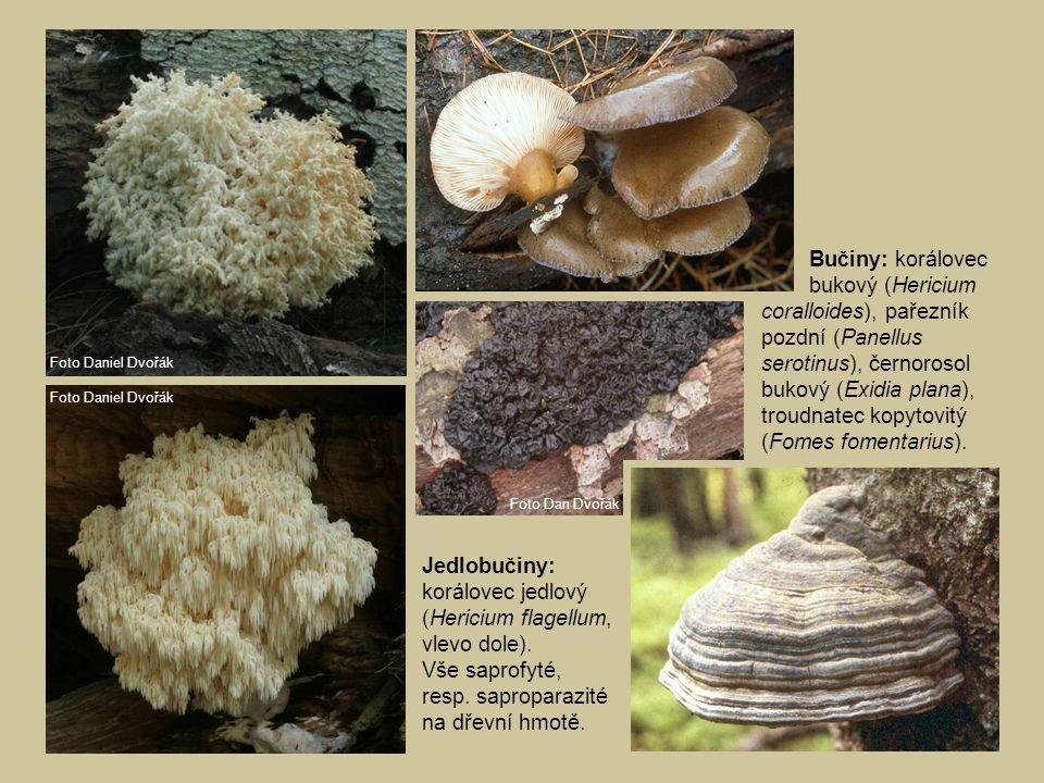 Bučiny: korálovec bukový (Hericium coralloides), pařezník