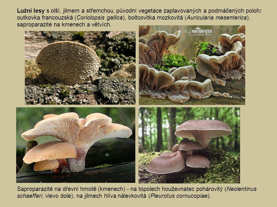 Lužní lesy s olší, jilmem a střemchou, původní vegetace zaplavovaných a podmáčených poloh: outkovka francouzská (Coriolopsis gallica), boltcovitka mozkovitá (Auricularia mesenterica), saproparazité na kmenech a větvích.