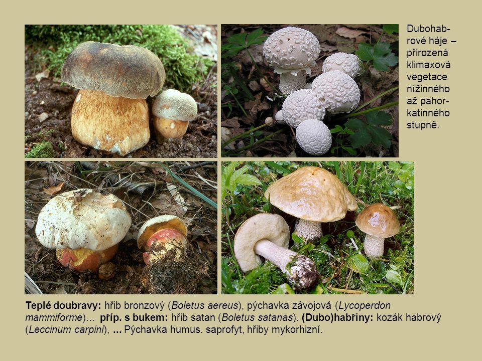 Dubohab-rové háje –přirozená klimaxová vegetace nížinného až pahor-katinného stupně.