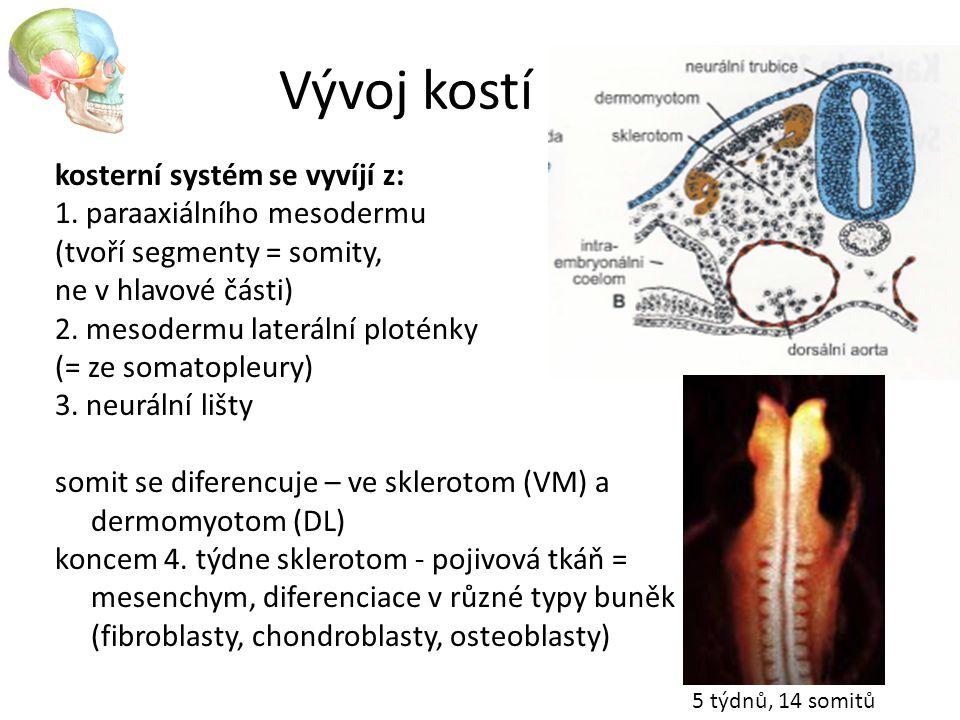Vývoj kostí kosterní systém se vyvíjí z: 1. paraaxiálního mesodermu
