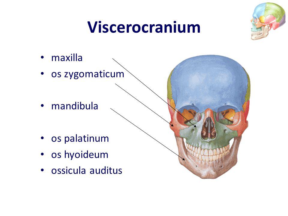 Viscerocranium maxilla os zygomaticum mandibula os palatinum