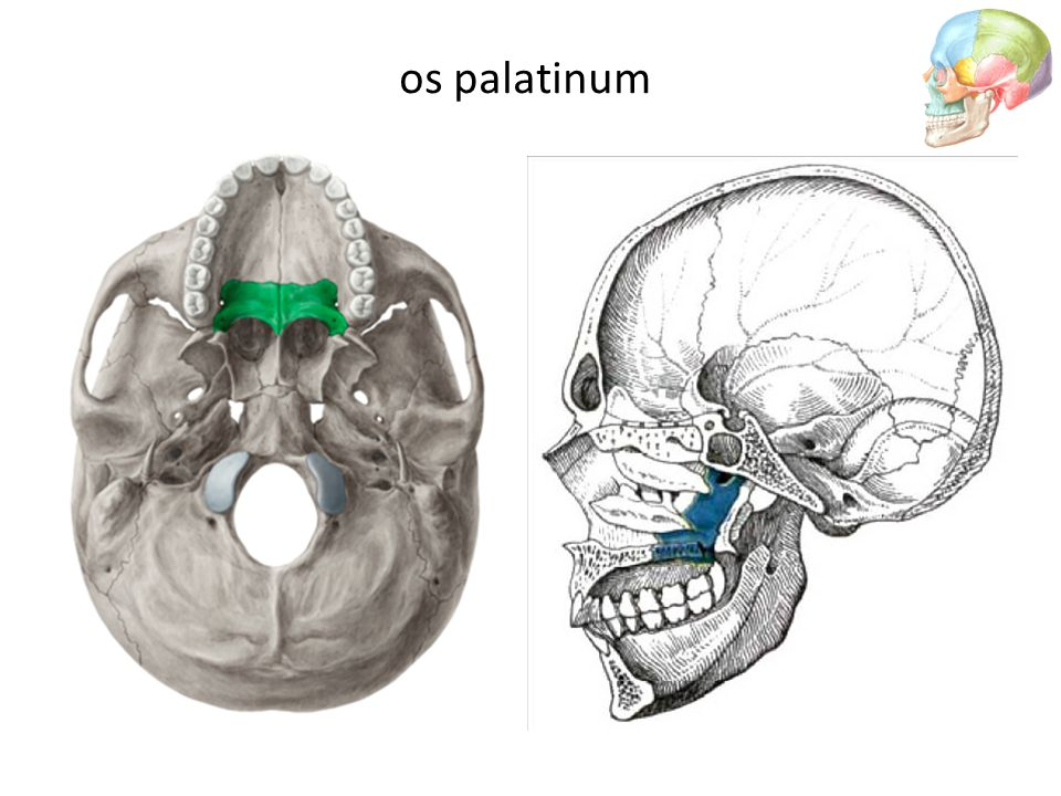 os palatinum