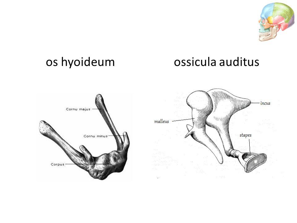 os hyoideum ossicula auditus