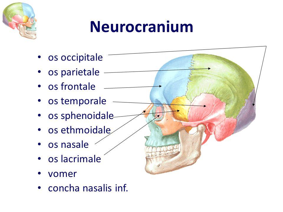 Neurocranium os occipitale os parietale os frontale os temporale