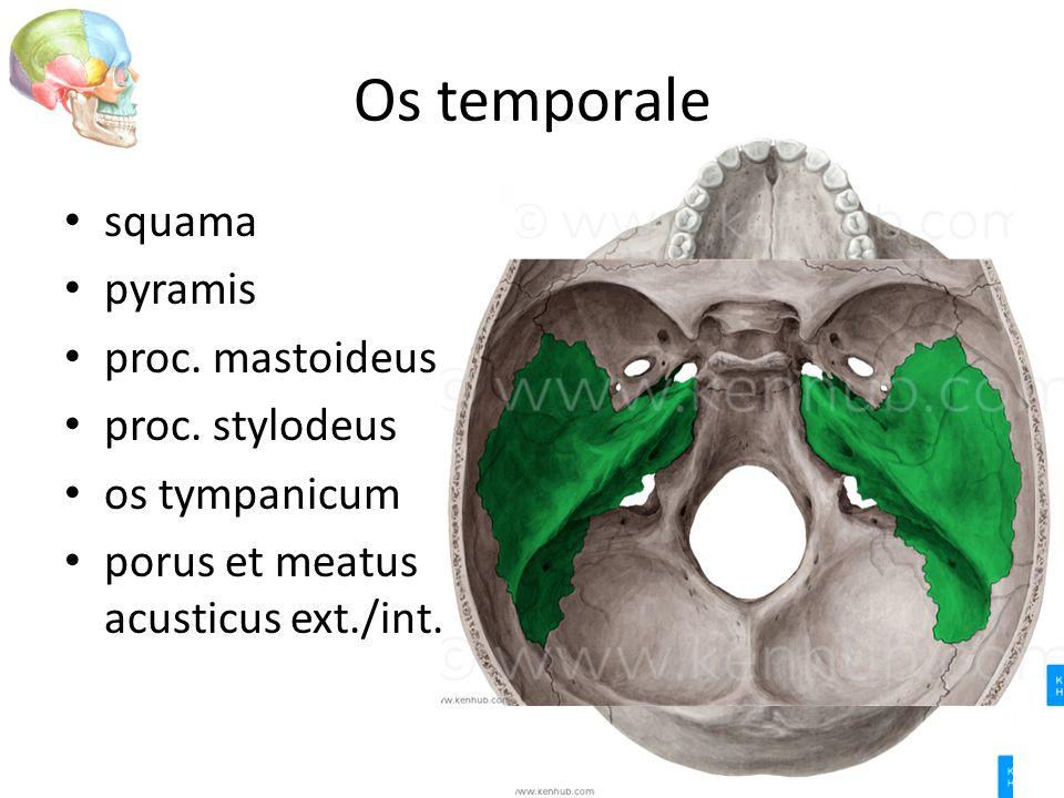 Os temporale squama pyramis proc. mastoideus proc. stylodeus