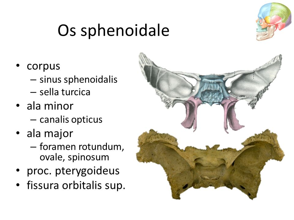 Os sphenoidale corpus ala minor ala major proc. pterygoideus