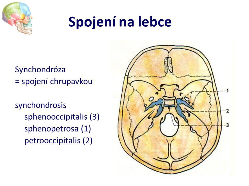 Spojení na lebce Synchondróza = spojení chrupavkou synchondrosis