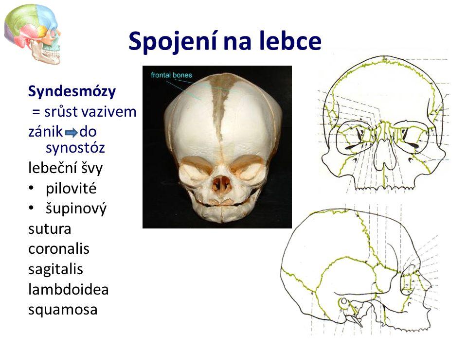Spojení na lebce Syndesmózy = srůst vazivem zánik – do synostóz