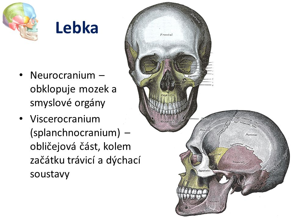 Lebka Neurocranium – obklopuje mozek a smyslové orgány