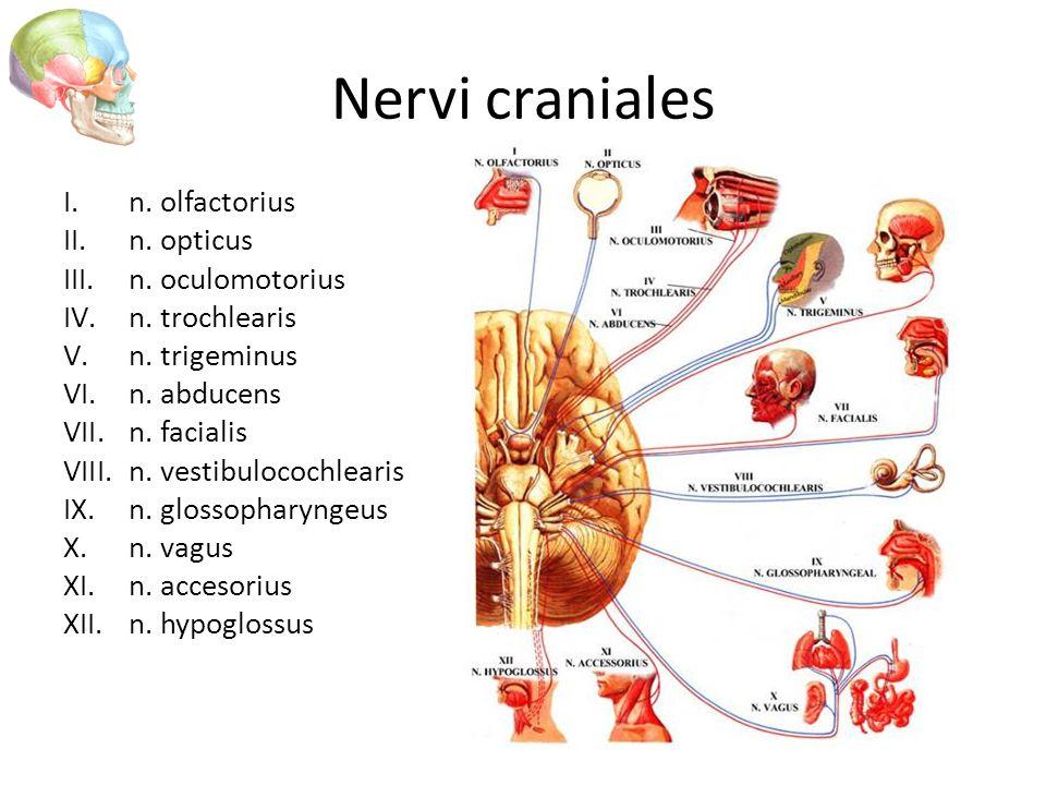 Nervi craniales n. olfactorius n. opticus n. oculomotorius