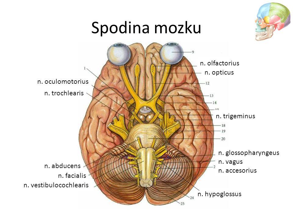 Spodina mozku n. olfactorius n. opticus n. oculomotorius