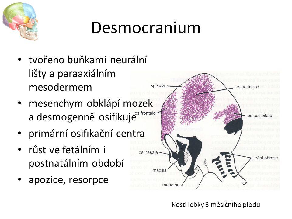 Desmocranium tvořeno buňkami neurální lišty a paraaxiálním mesodermem