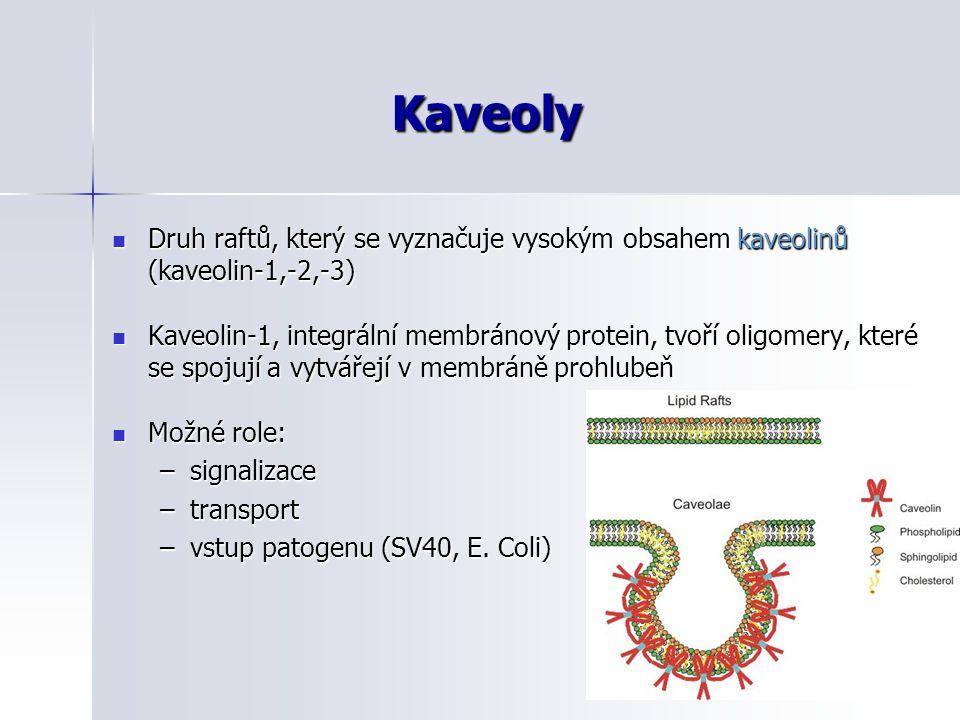 Kaveoly Druh raftů, který se vyznačuje vysokým obsahem kaveolinů (kaveolin-1,-2,-3)