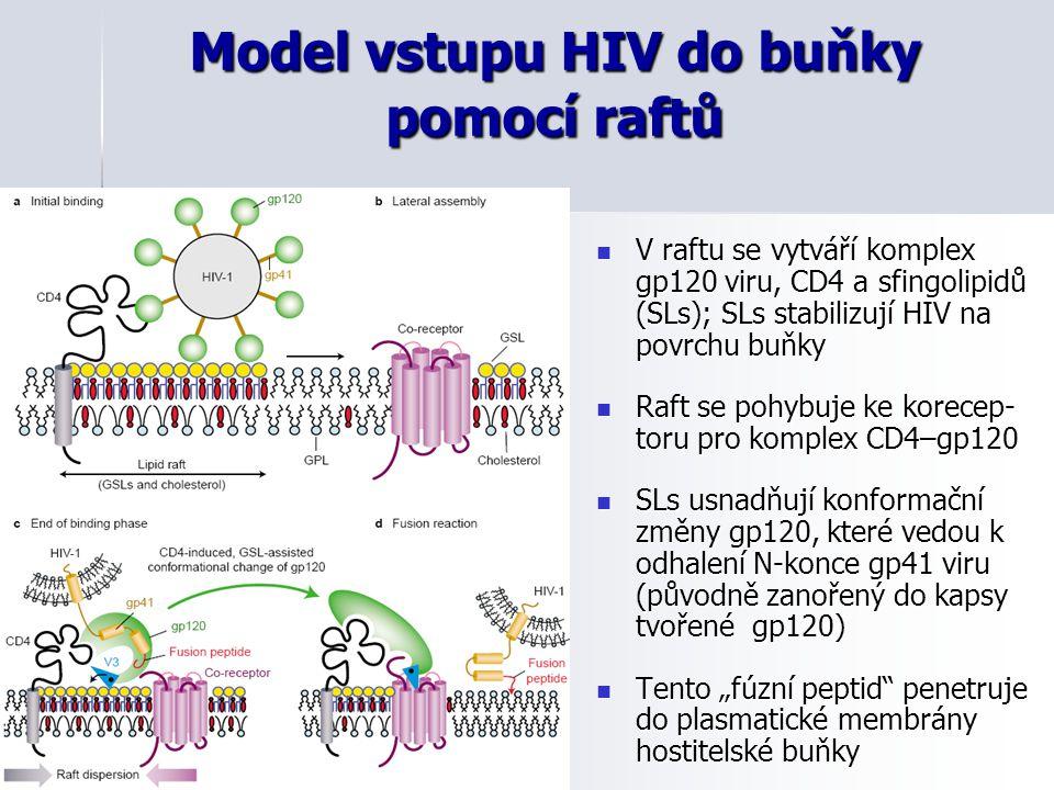 Model vstupu HIV do buňky pomocí raftů